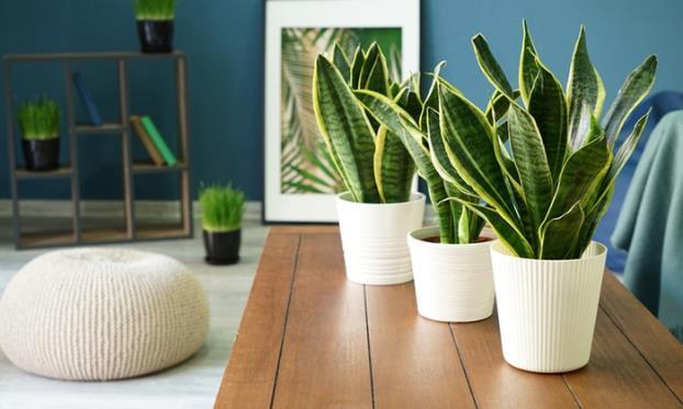 Sanseveira / Snake Plant