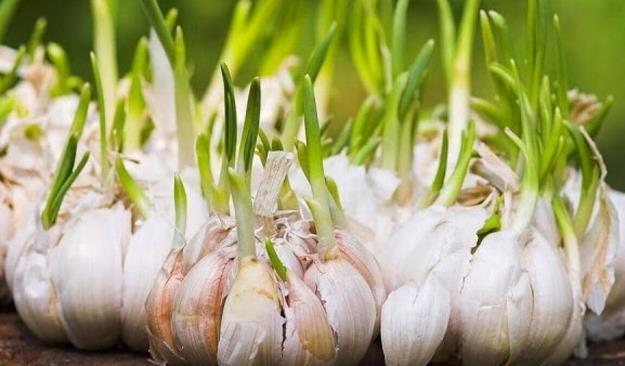 Transplantasi dan Penanaman Bawang Putih di Sistem Hidroponik