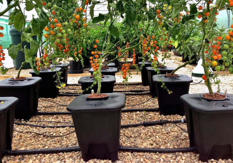 Transplantasi dan Tanam Tomat di Sistem Hidroponik
