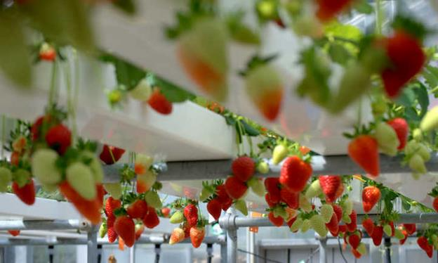 transplantasi dan penanaman strawberry hidroponik