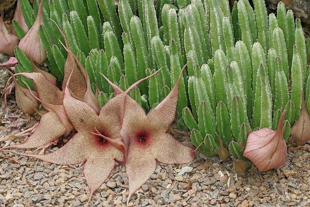 Kaktus Stapelia Glanduliflora