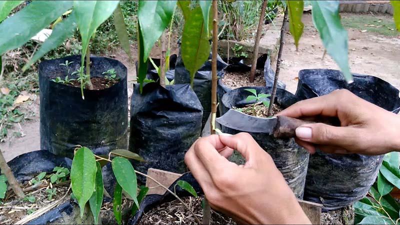 Teknik Okulasi Tanaman