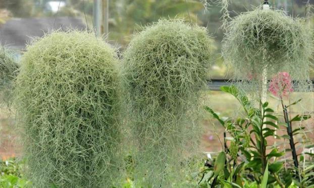 Jenggot Musa / Spanish Moss