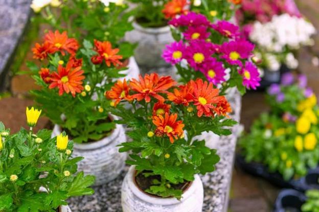 Chrysantemum atau Bunga Krisan