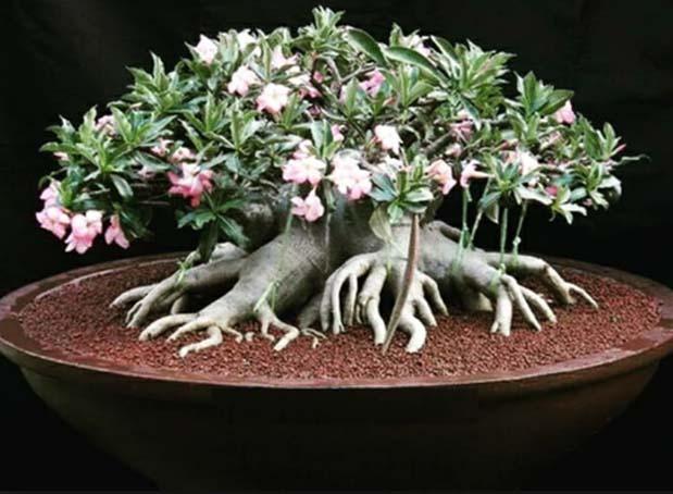 Bonsai Adenium