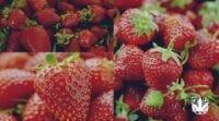 menanam strawberry hidroponik