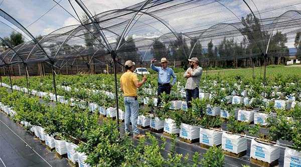 transplantasi blueberry hidroponik