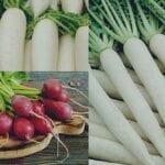 cara menanam lobak hidroponik