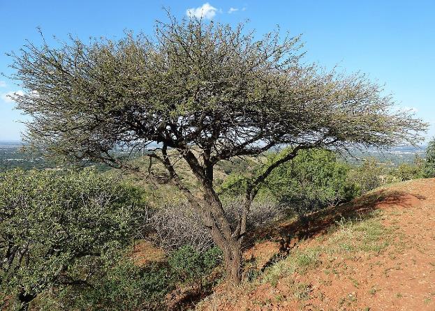 kondisi ideal untuk menanam pohon bidara