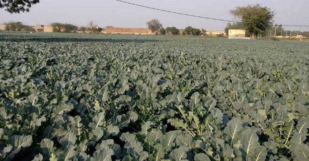 Syarat tumbuh brokoli