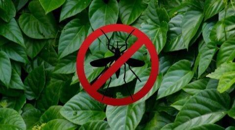 tanaman anti nyamuk